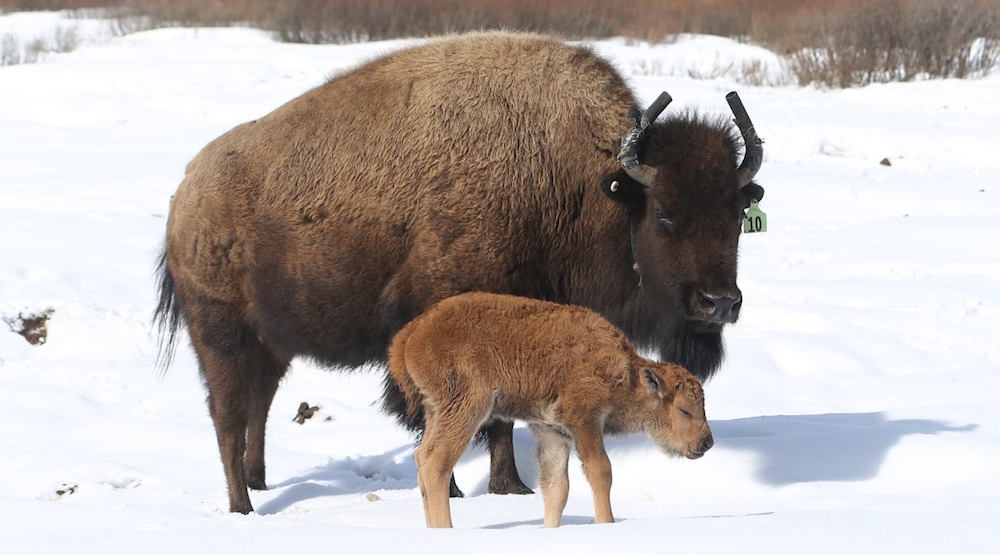 First bison offspring born in Banff National Park in over 140 years