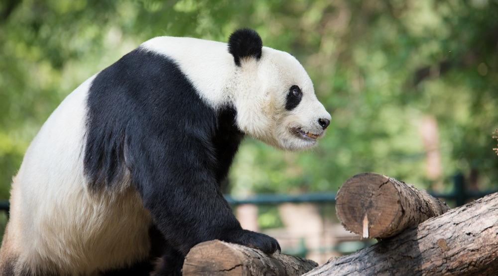 Calgary Zoo getting ready for arrival of pandas next year