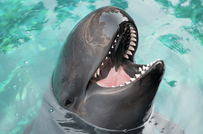 Chester the false killer whale is one of the cetaceans being cared for by the Vancouver Aquarium's Marine Mammal Rescue program (Vancouver Aquarium)