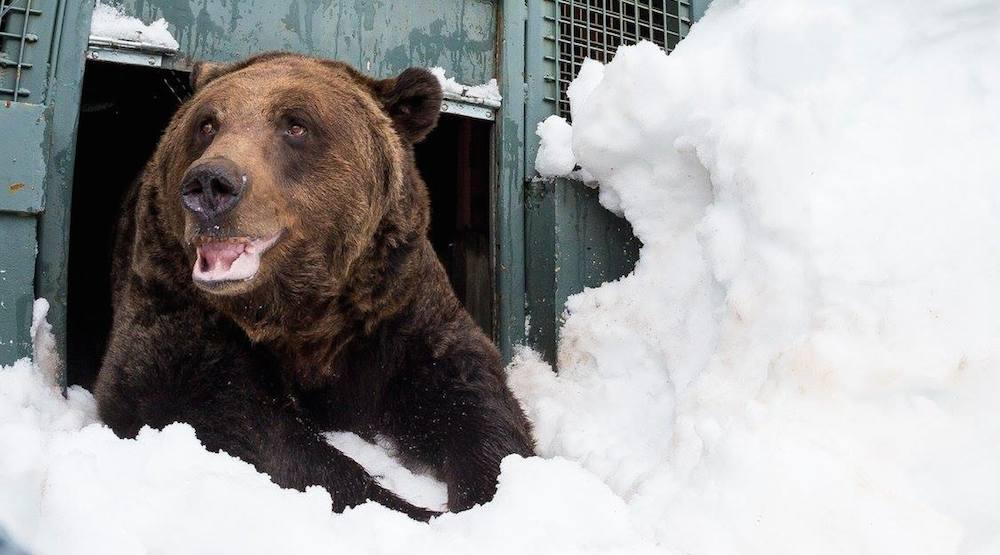 9 cute photos of Grouse Mountain's grizzly bears awakening from hibernation