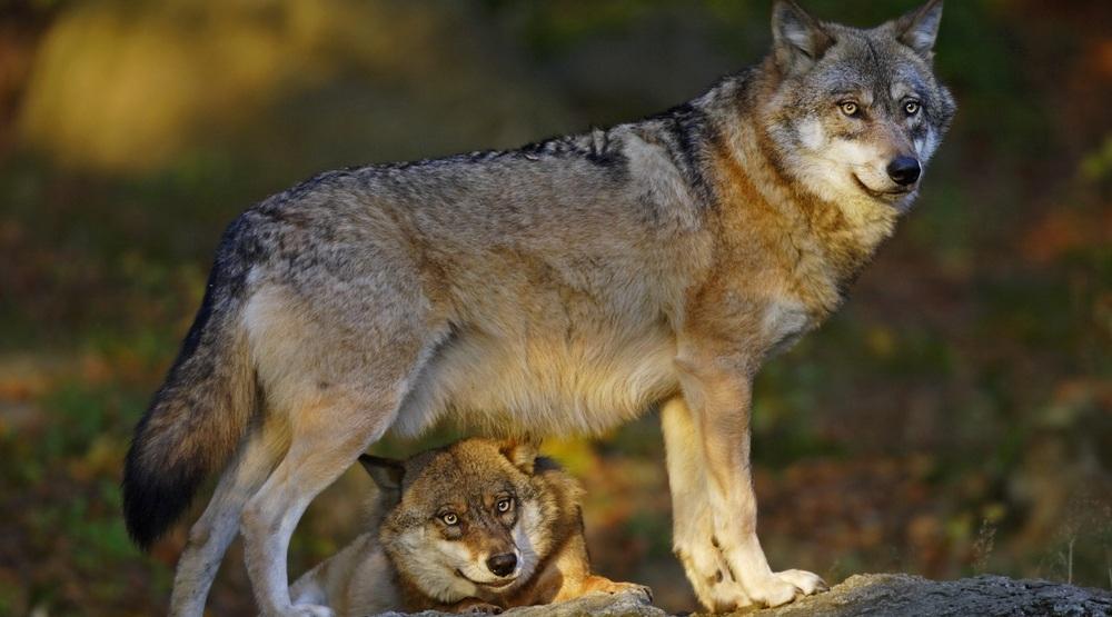 Grey wolf shutterstock