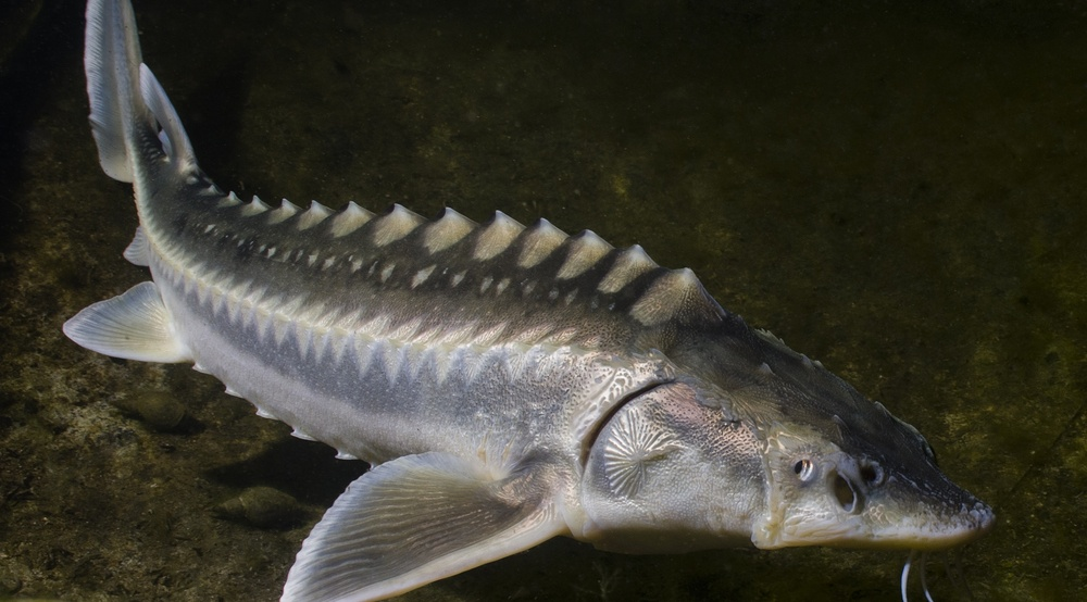 """Sturgeon are often called """"living fossils"""", being part of a family of fish that has been around for 135 million years (Sturgeon/Shuttershock)"""