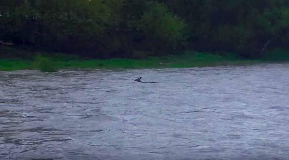 A deer was swept down the Humber River during yesterday's storm (VIDEO)