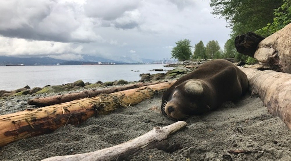 Injured California sea lion rescued from Vancouver's Spanish Banks
