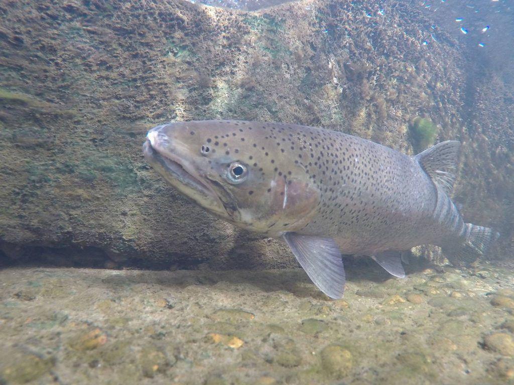 Great-Salmon-Sendoff