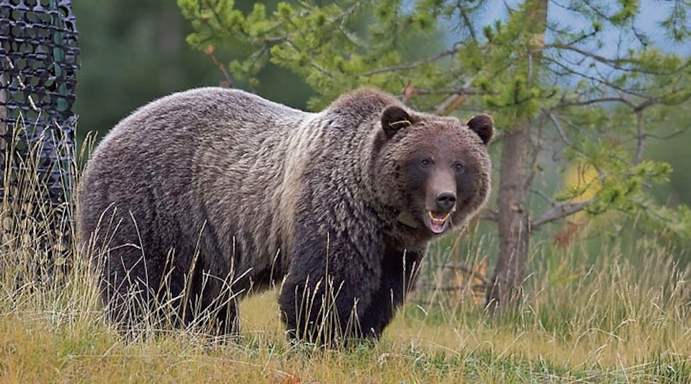 Infamous Canmore grizzly 'Bear 148' gets moved out of town by Province