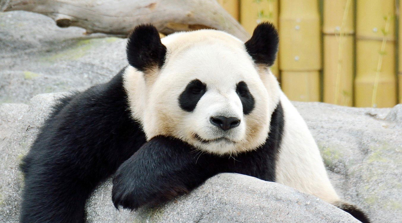Toronto zoo panda 1