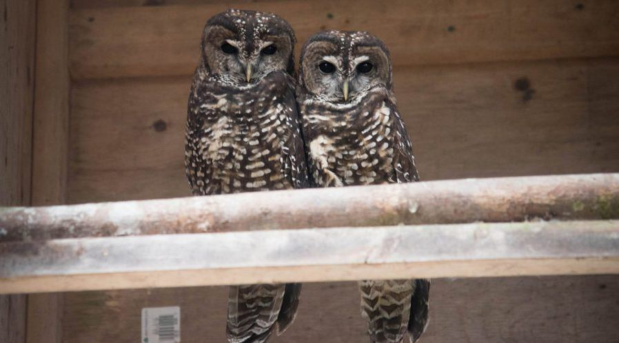 Chick D's Northern Spotted Owl parents Shania (left) and Scud (FWCP)