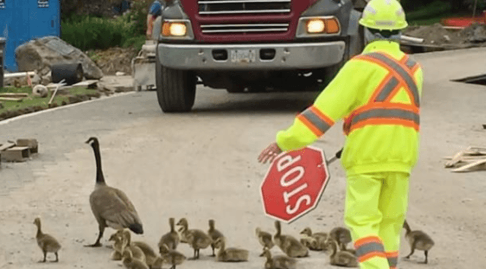 The cutest traffic jam: Watch city workers stop for these adorable baby geese (VIDEO)