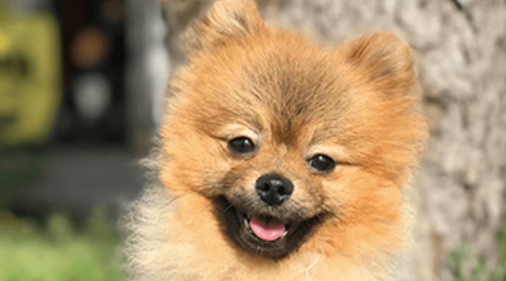 Stuffy the Pomeranian needs your help to heal his broken legs
