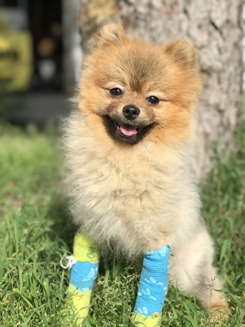 Stuffy the Pomeranian needs your help to fund his surgery (BC SPCA)