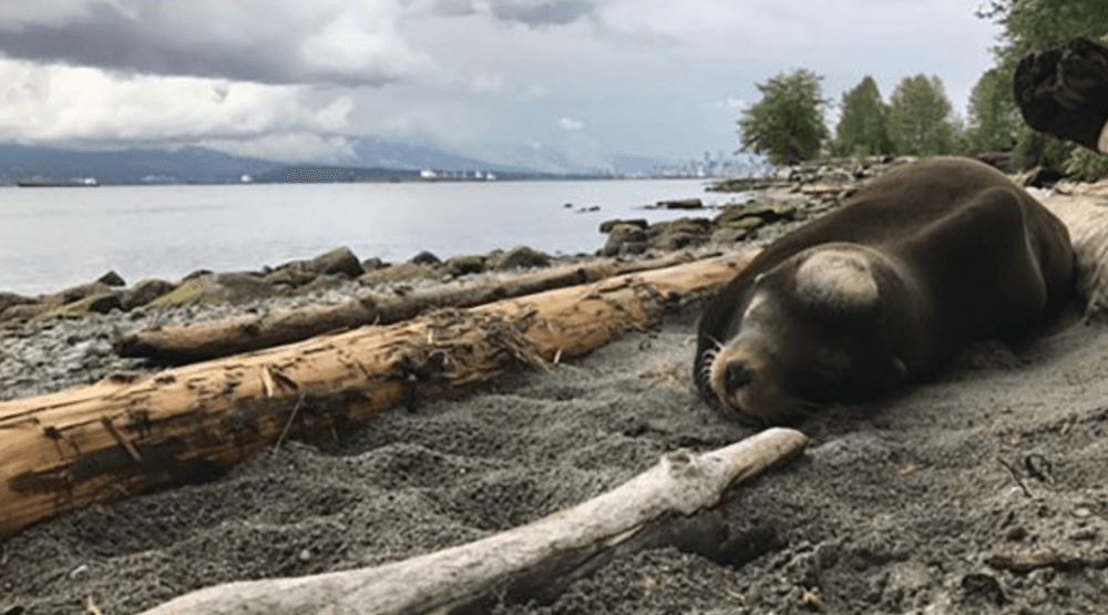 Señor Cinco the sea lion was found stranded on Spanish Banks on May 5 (Vancouver Aquarium)