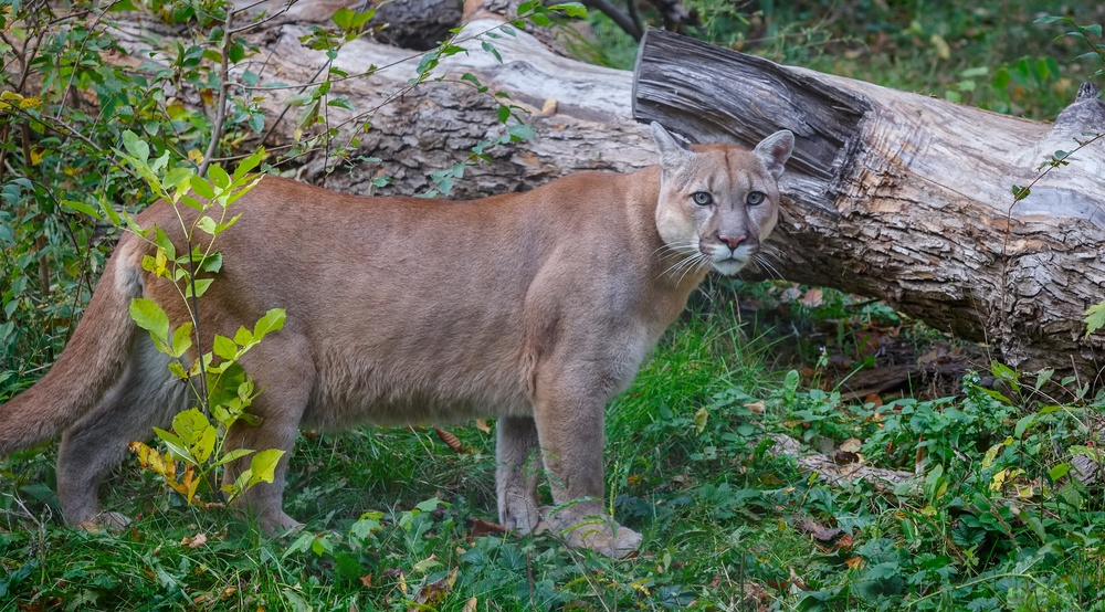 the issue of cougar protection One california farmer found herself caught up in a conservation  led to an  extreme response: a permit to kill the mountain lion in question.