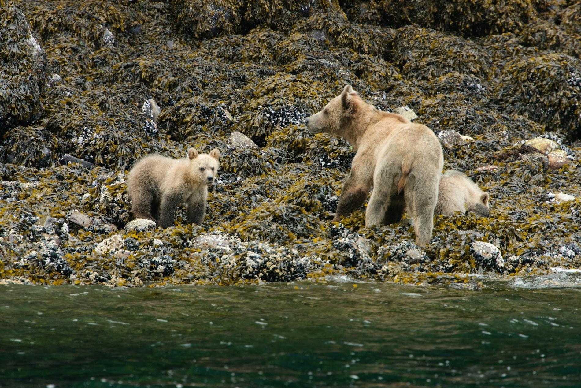 sea-wolf-adventures-bears