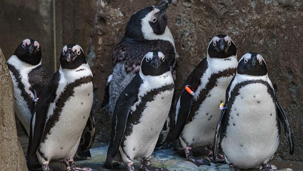 vancouver aquarium penguins choice image