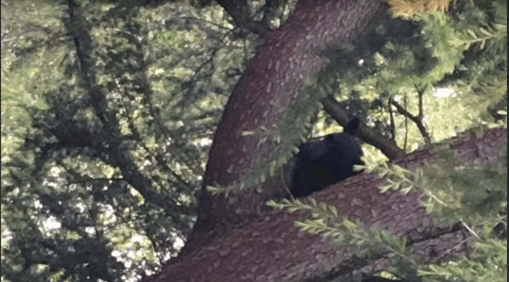 Bear sighting in East Vancouver Friday morning