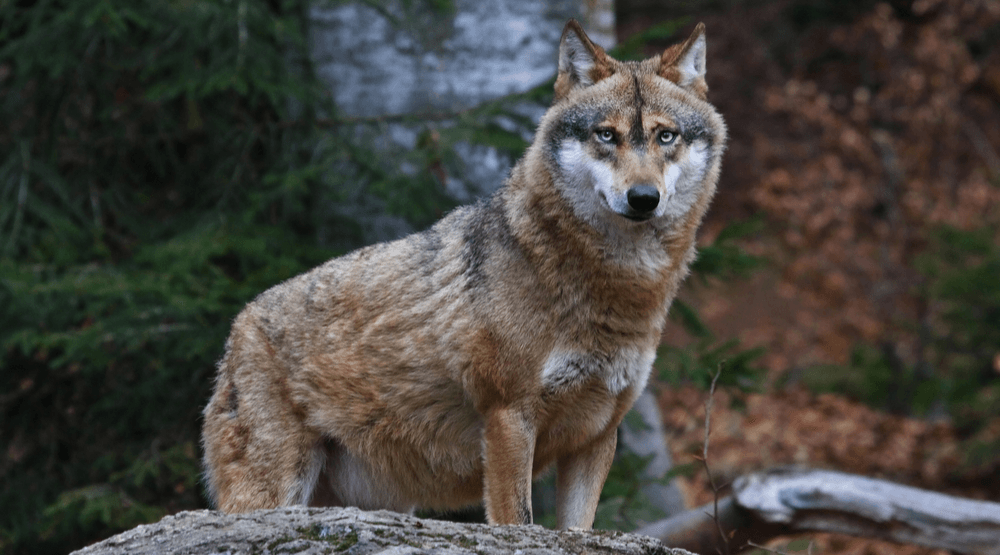 Banff National Park campground reopens following wolf attack