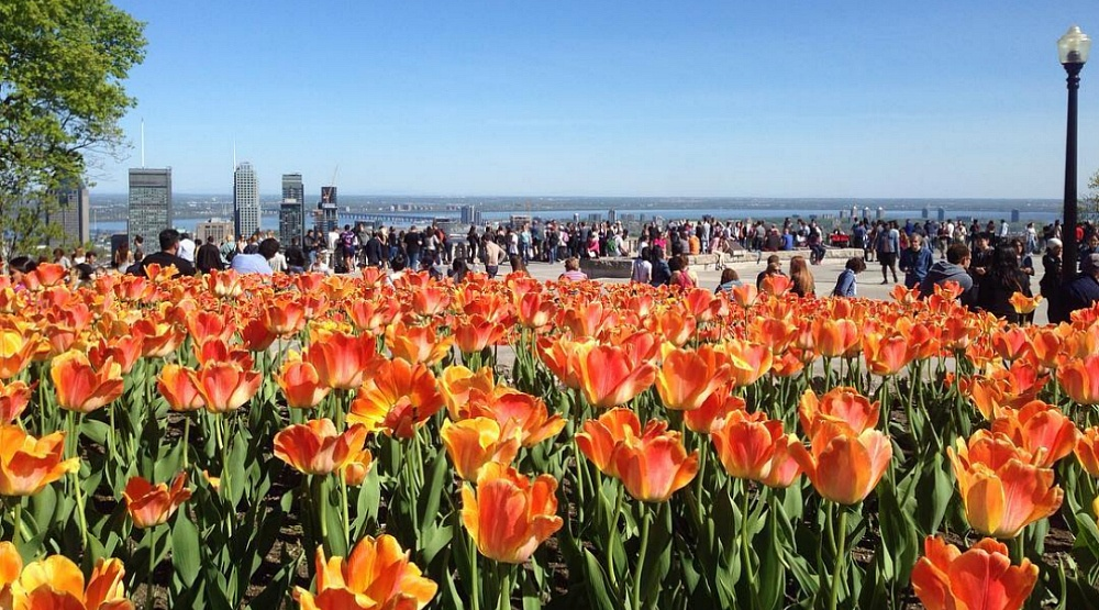 Tulips are in full bloom on Mount Royal and it's spectacular