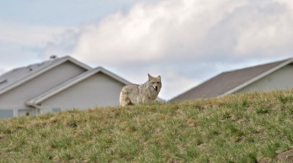 Coyotes nw calgary