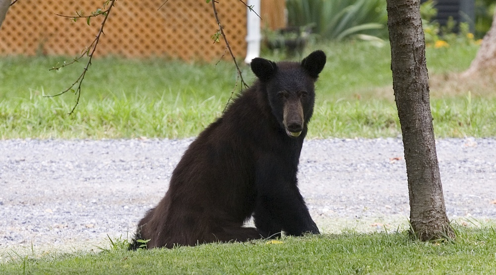 How to avoid bear encounters in your neighbourhood and what to do if it happens
