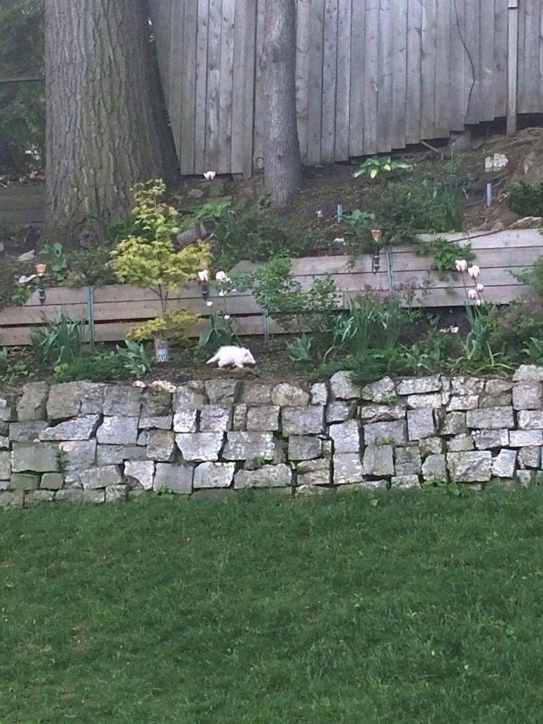 albino racoon