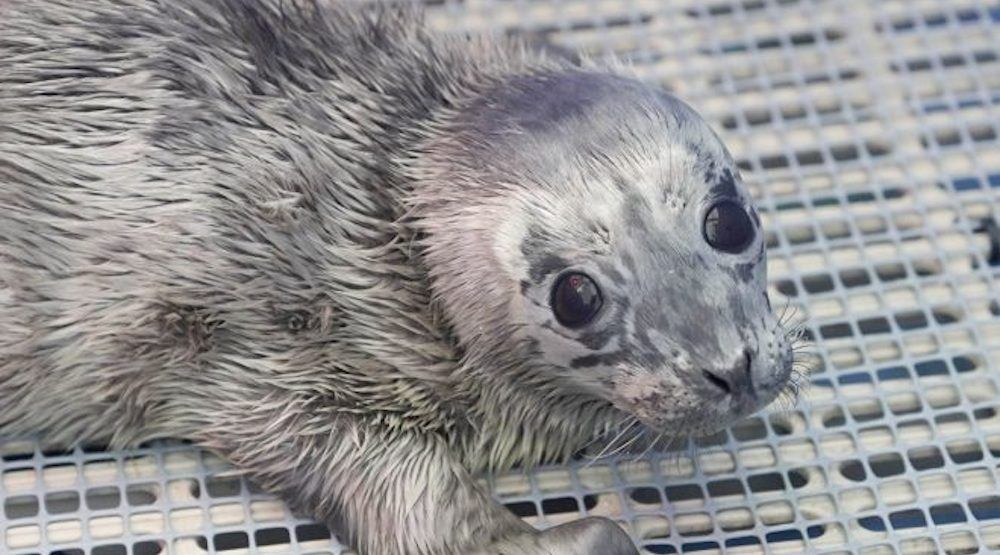 Two abandoned seal pups rescued by Vancouver Aquarium