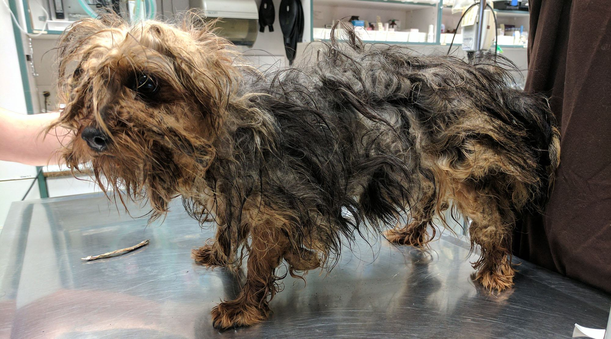 15 neglected Silky Terriers, 2 German Shepherds taken from BC dog breeder