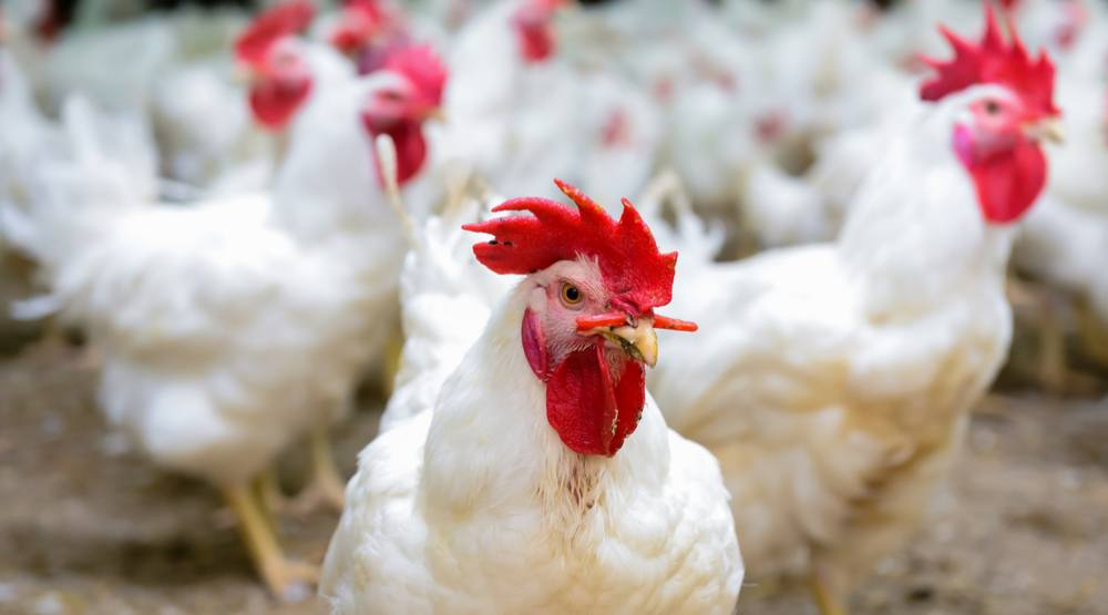 Chickens (Bukhanovskyy / Shutterstock)