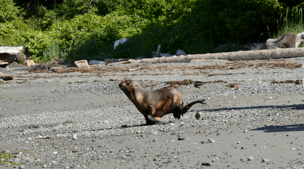'Milestone release': Vancouver Aquarium releases Fur seal pup back into the wild