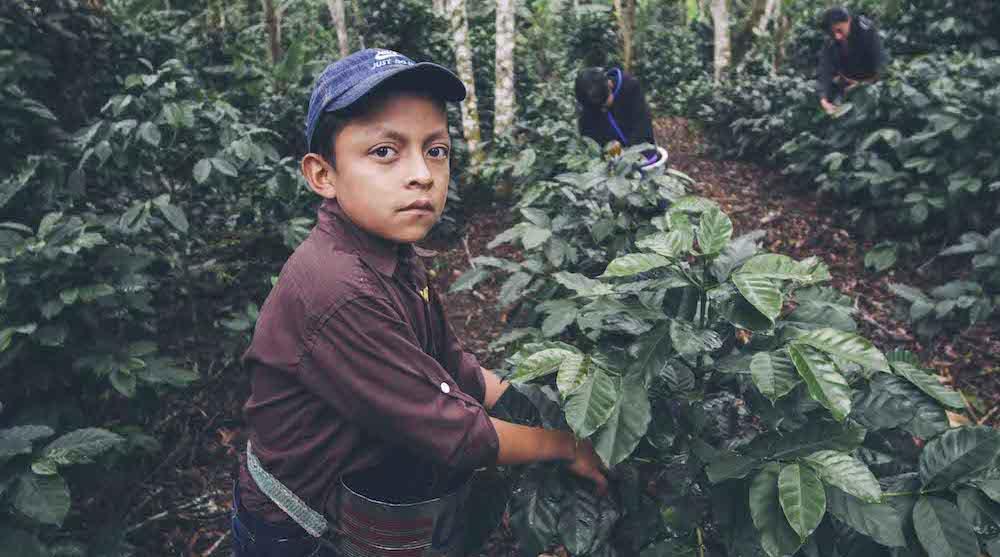 Honduras coffeecutter2