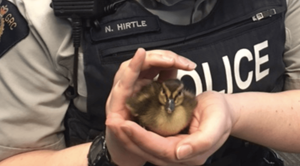 Cutest rescue ever? North Vancouver RCMP save ducklings crossing Highway 1