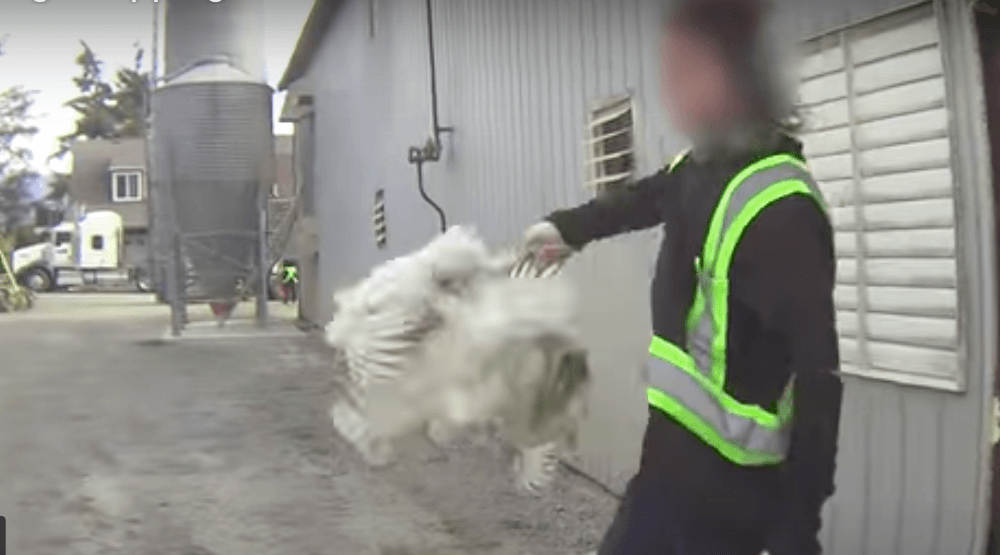 Video footage shows chickens being abused a Chilliwack poultry farm (mercyforanimals/ YouTube screenshot)