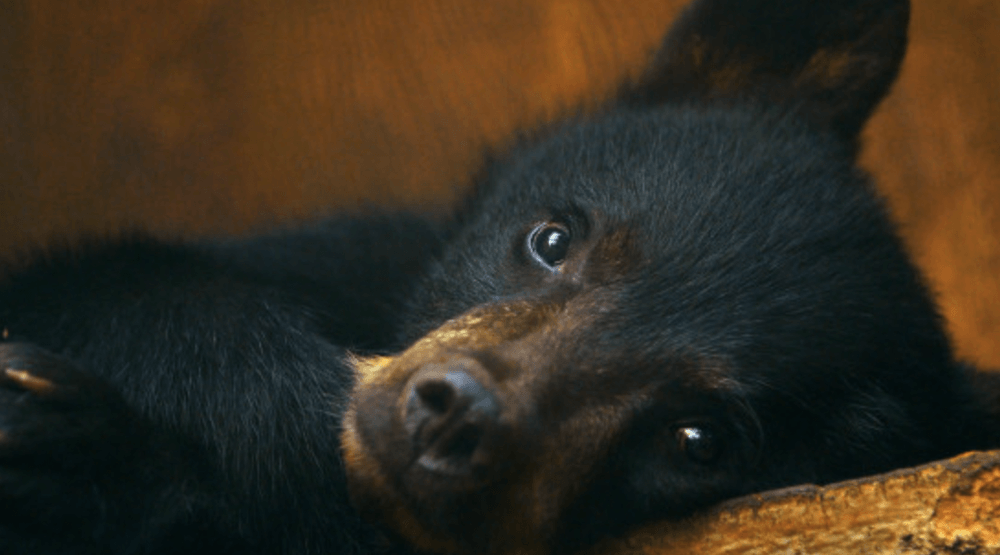 Conservation group working on recommendations for COS after orphaned bear cub destroyed