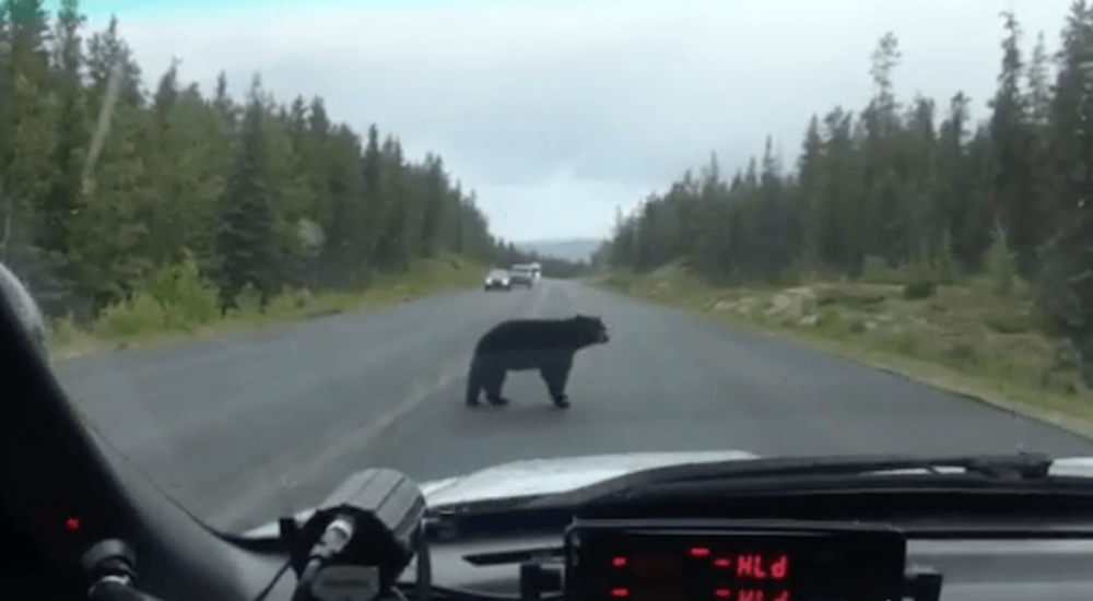 Bear on road jasper ab