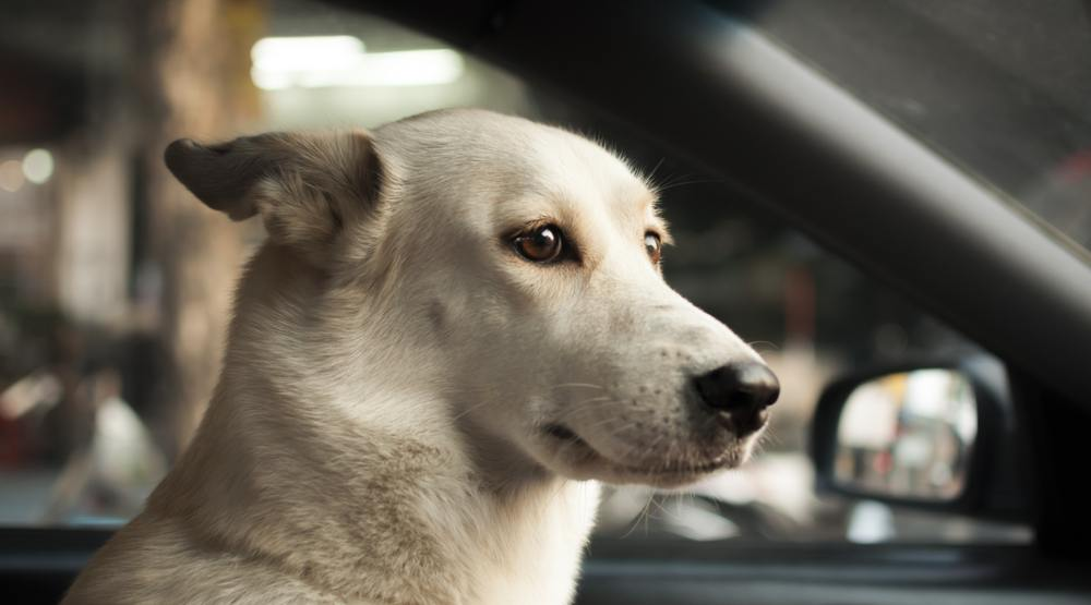 BC SPCA warns drivers not to leave dogs in cars during hot weather