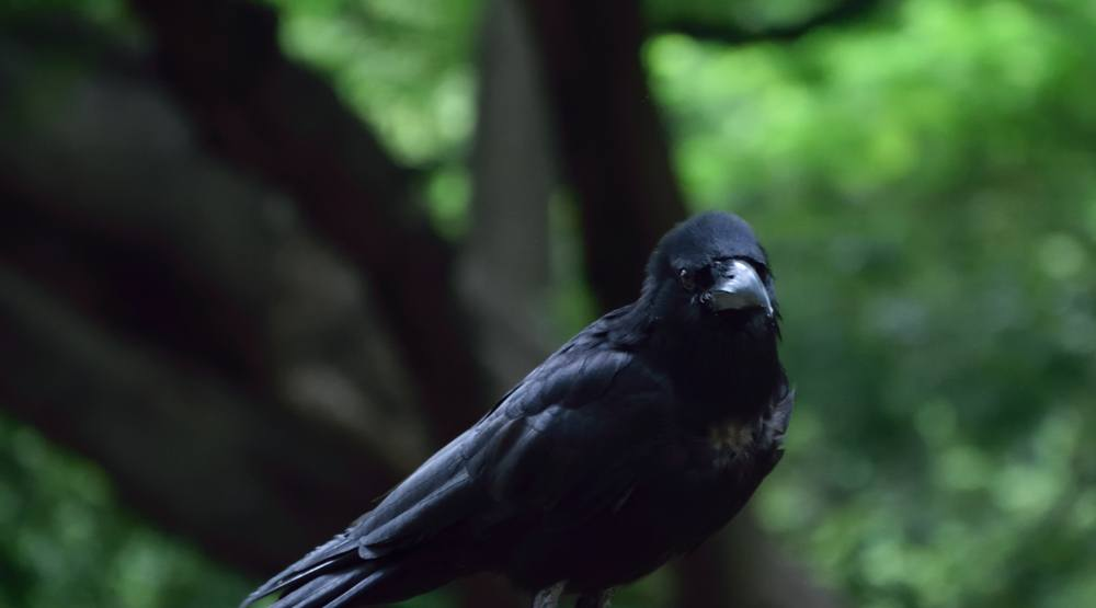 East Vancouver Canada Post carriers bested by Canuck the crow