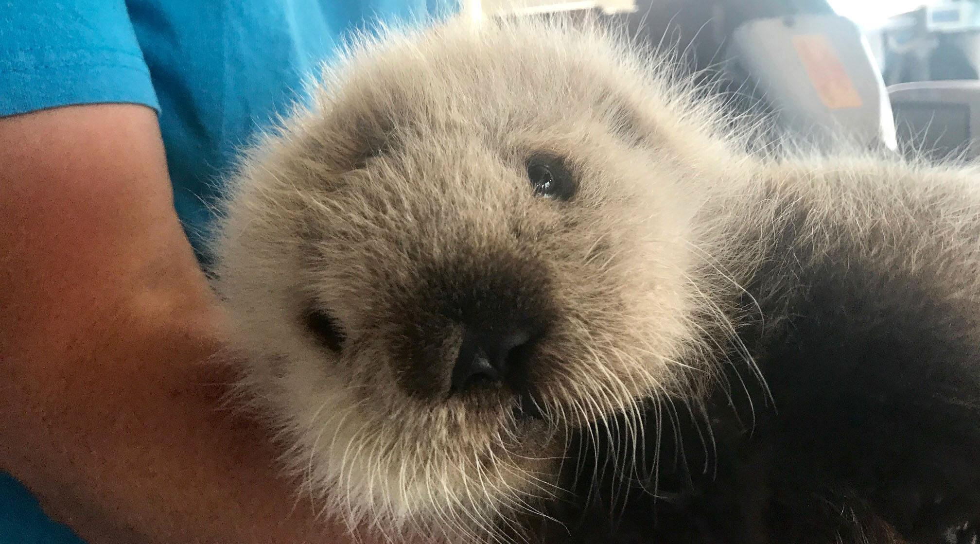The rescued sea otter pup (Vancouver Aquarium)