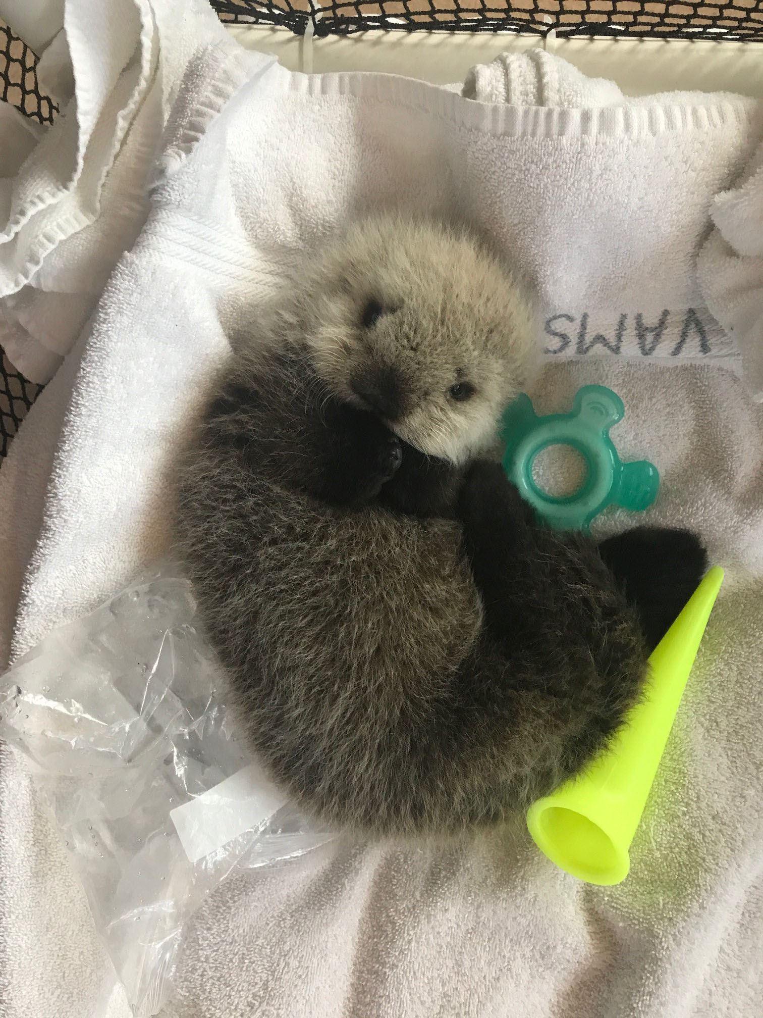 The sea otter in its crib (Vancouver Aquarium)