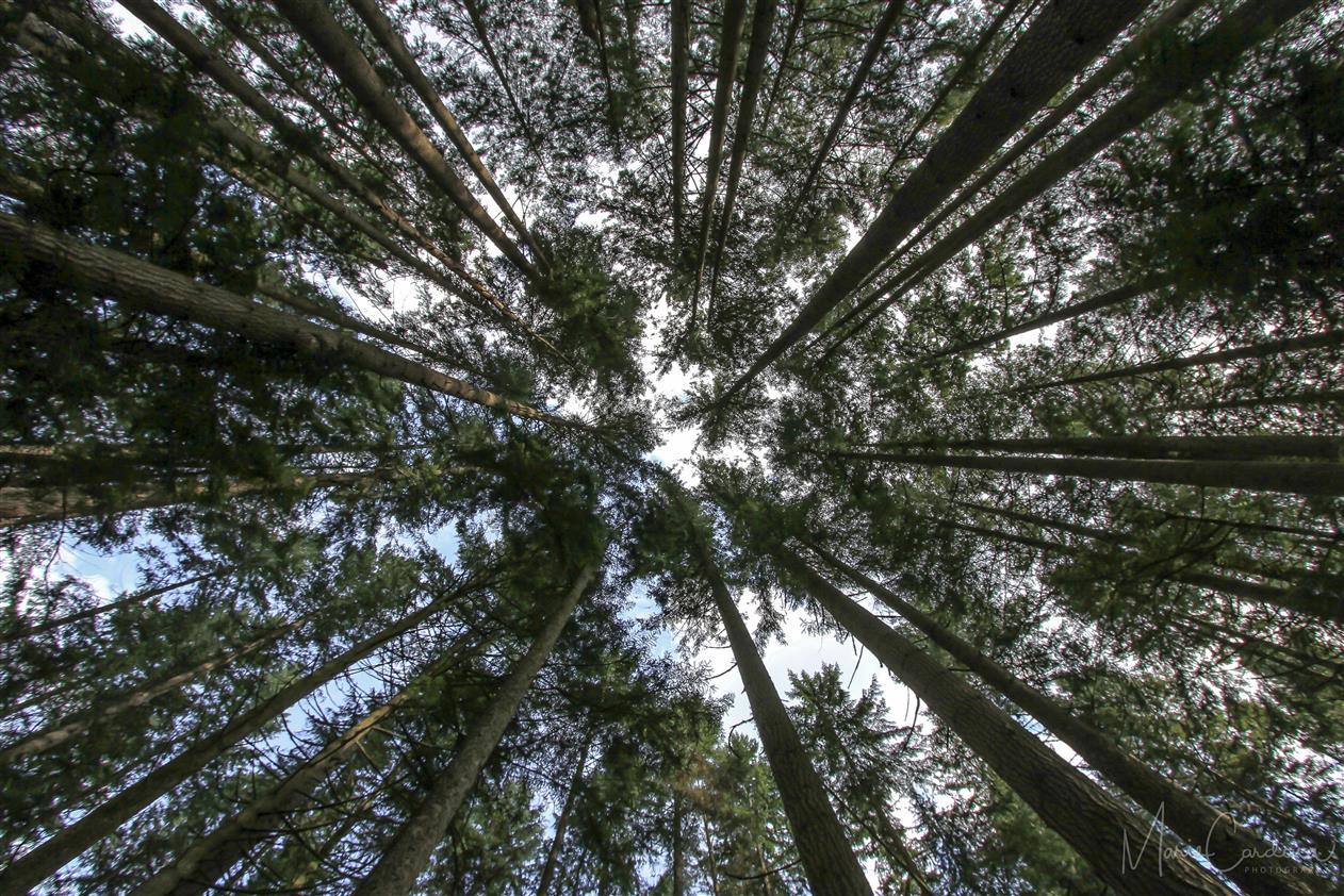 Trees so tall. (Marie Cardona)