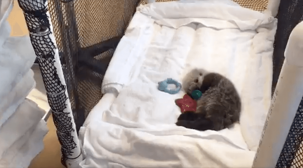 Vancouver's favourite otter pup may be moved to the Aquarium (VIDEO)