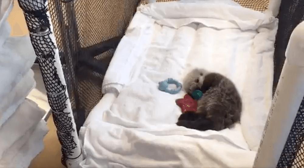 Baby otter1