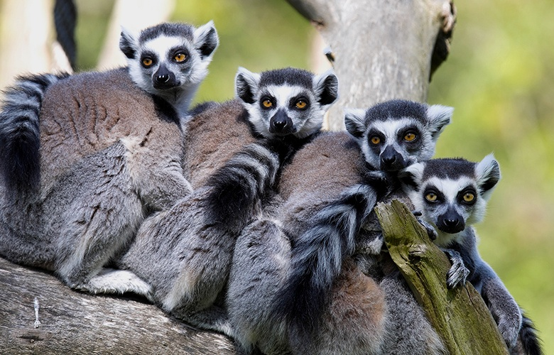 Now you can immerse yourself with lemurs at Calgary Zoo's first ever face-to-face habitat