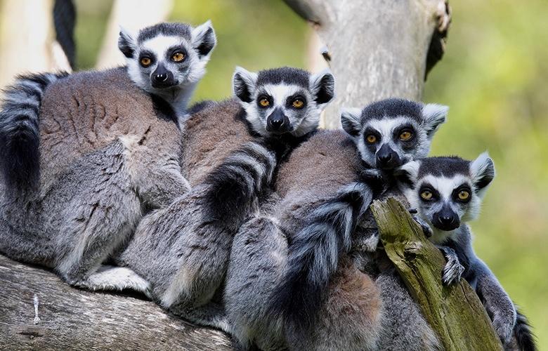 Lemurs daily hive image