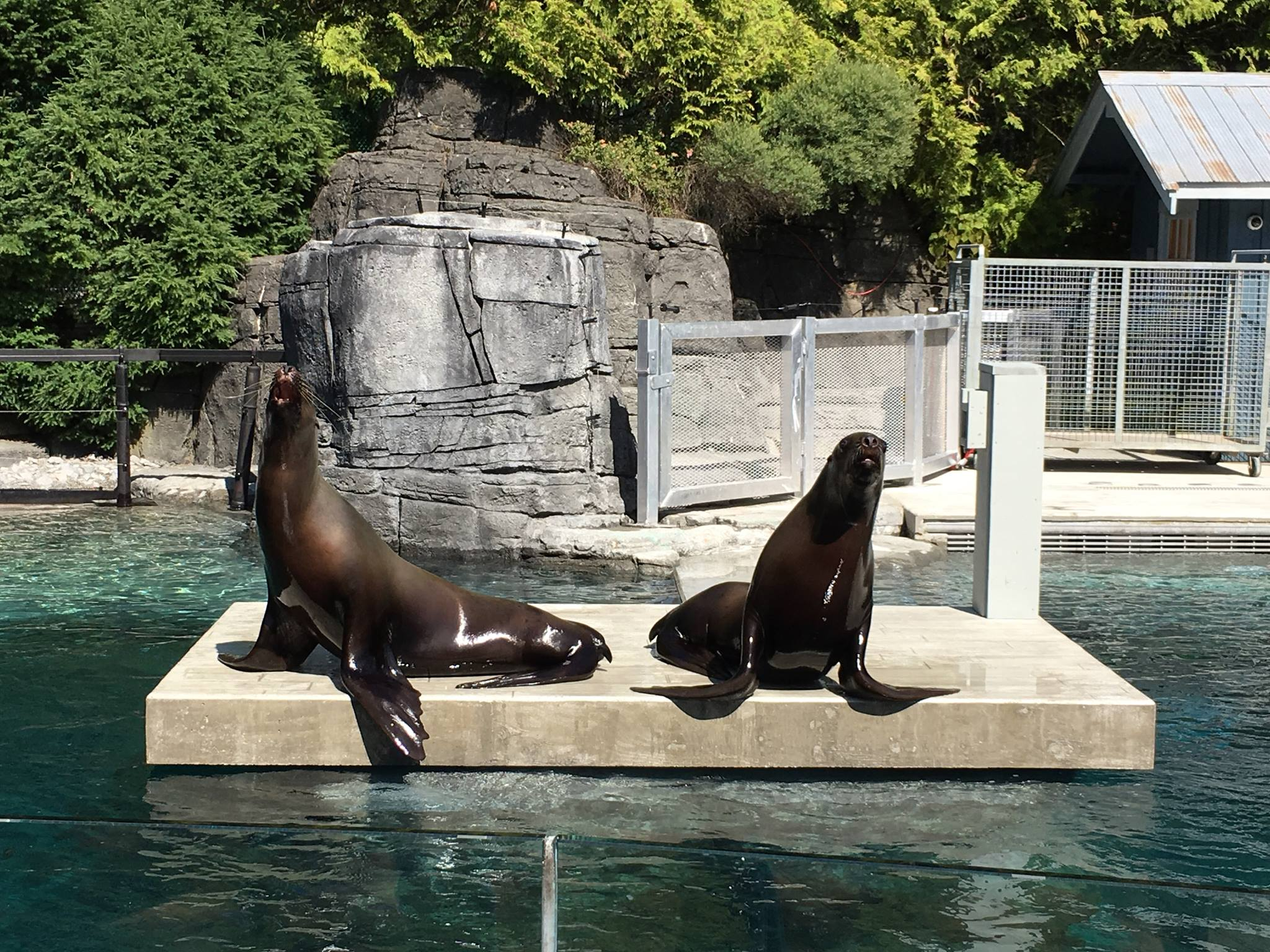 There's a brand new sea lion exhibit at the Vancouver Aquarium