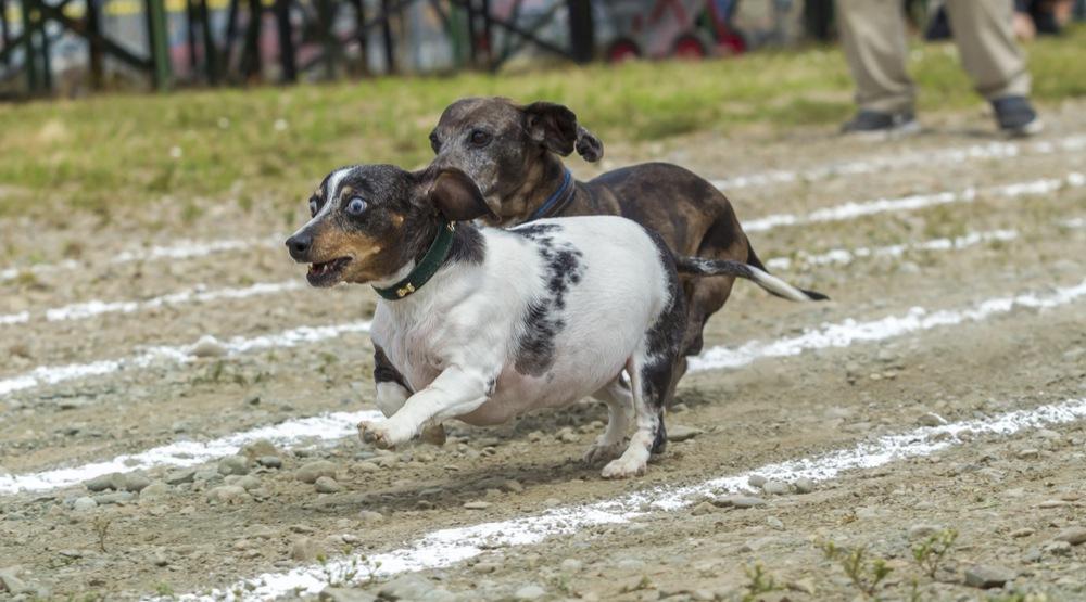 Wiener Dog Racing Weekend at Hastings Racecourse 2017
