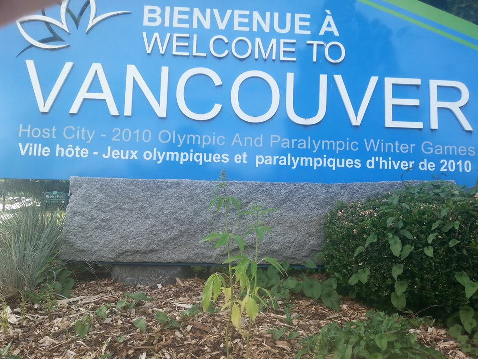 Cannabis plant outside Vancouver City Hall sign (Dana Larsen)