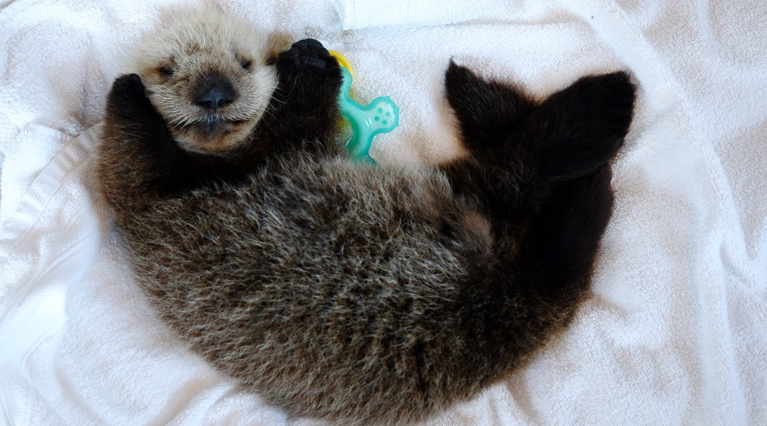 The sea otter pup rescued near Vancouver Island (Vancouver Aquarium)