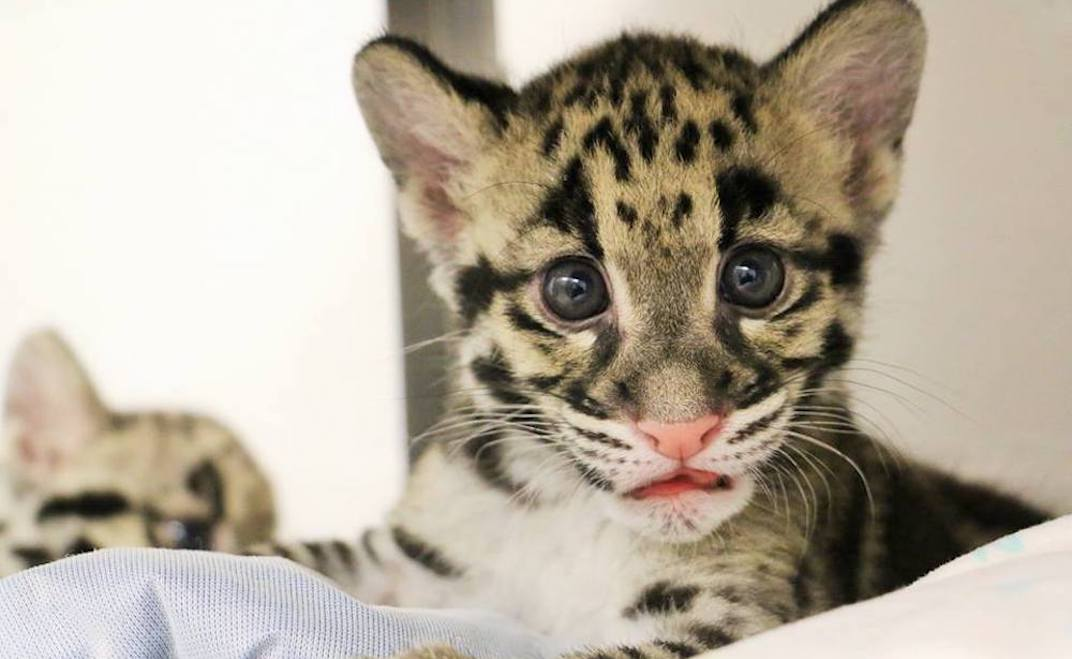Toronto Zoo's clouded leopard cubs are here to melt your heart (PHOTOS)