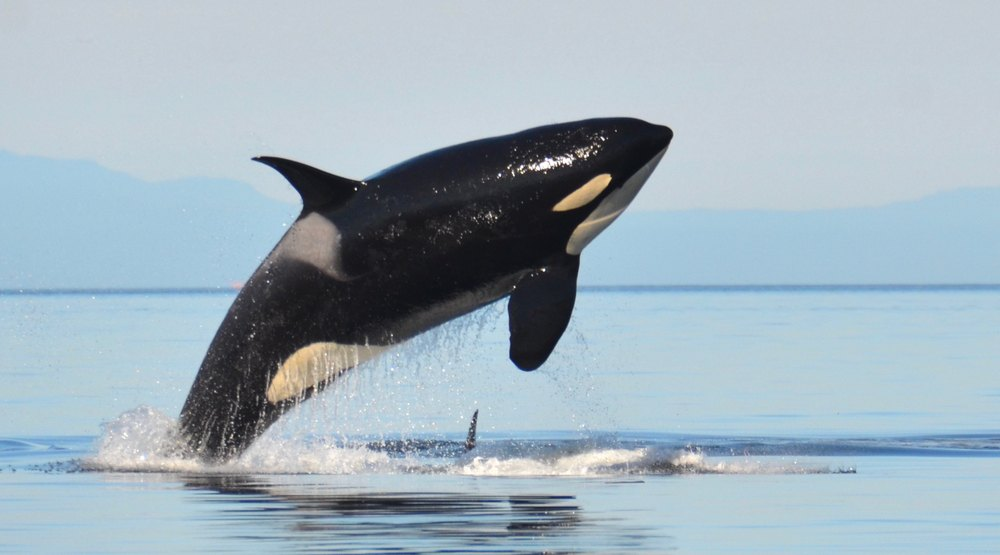 A female southern resident killer whale breaches in the calm blue waters of the salish sea between washington state and british columbia canada monika wieland shields shutterstock