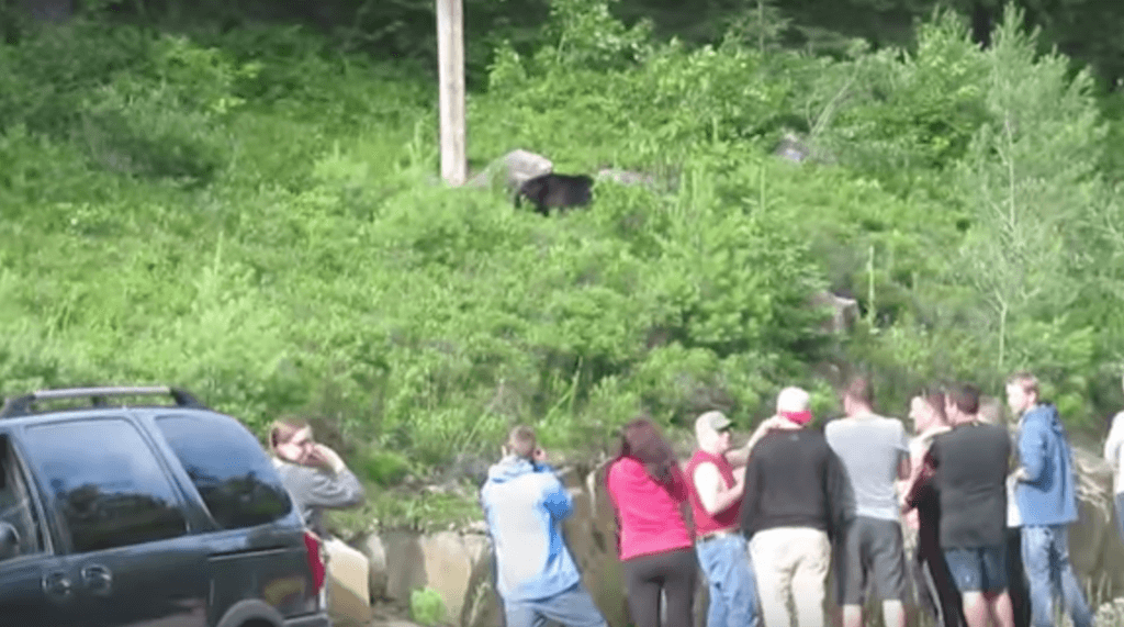 Visitors get dangerously close to black bear in Algonquin Park (VIDEO)